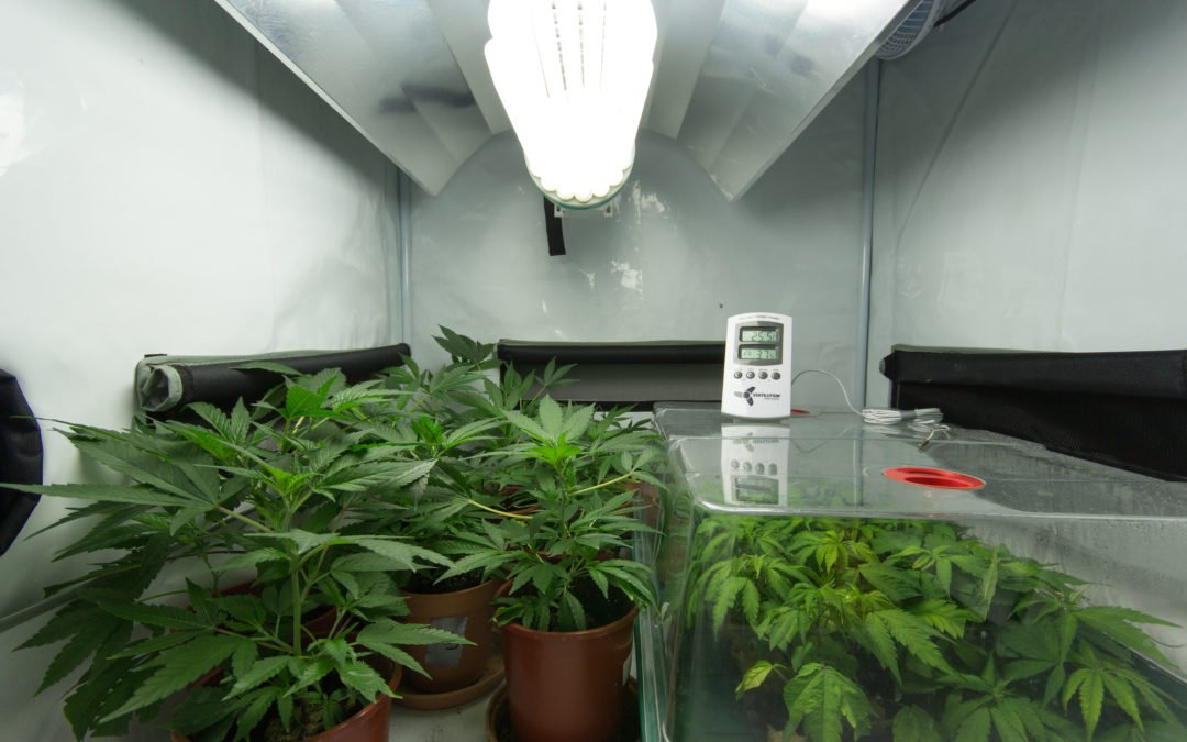 green plants in grow room with overhead lighting